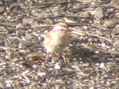 tree sparrow, front