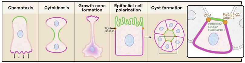 Cell orientations