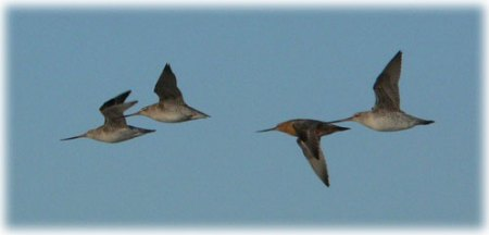 flying godwits