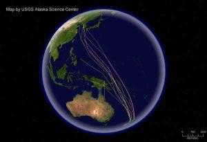 godwit migrations