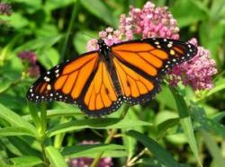 Monarchs under threat