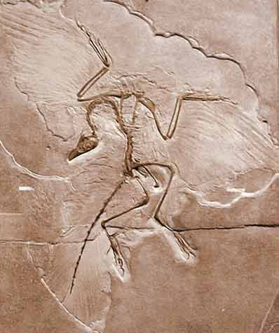 Archaeopteryx Is Not A Transitional Form Archaeopteryx Not A Transitional Form